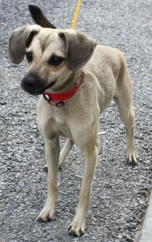 Whippet Dog Rescue Ontario