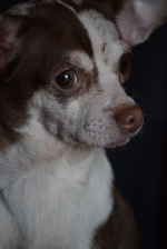 5-Red---Chihuahua---ADOPTED